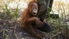 The baby orangutan, waits for her mother to be brought around from the sedative, in preparation for translocation from the high risk region of Tripa to a safe forest in Janto.